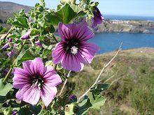 Bechermalve - Bild-Quelle: Wikipedia.org