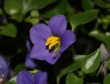 Blaues Lieschen - Bild-Quelle: Wikipedia.org