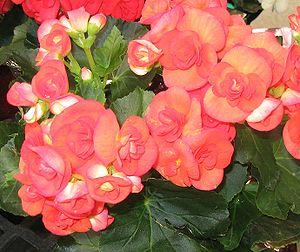 Blüten Begonie - Bild-Quelle: Wikipedia.org