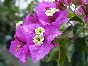 Bougainvillea - Bild-Quelle: Wikipedia.org