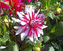 Dahlien - Bild-Quelle: Wikipedia.org
