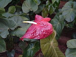 Flamingoblume - Bild-Quelle: Wikipedia.org