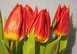 Tulpen - Bild-Quelle: Wikipedia.org